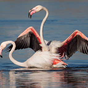Flamingos mating by Francois Retief - Animals Birds