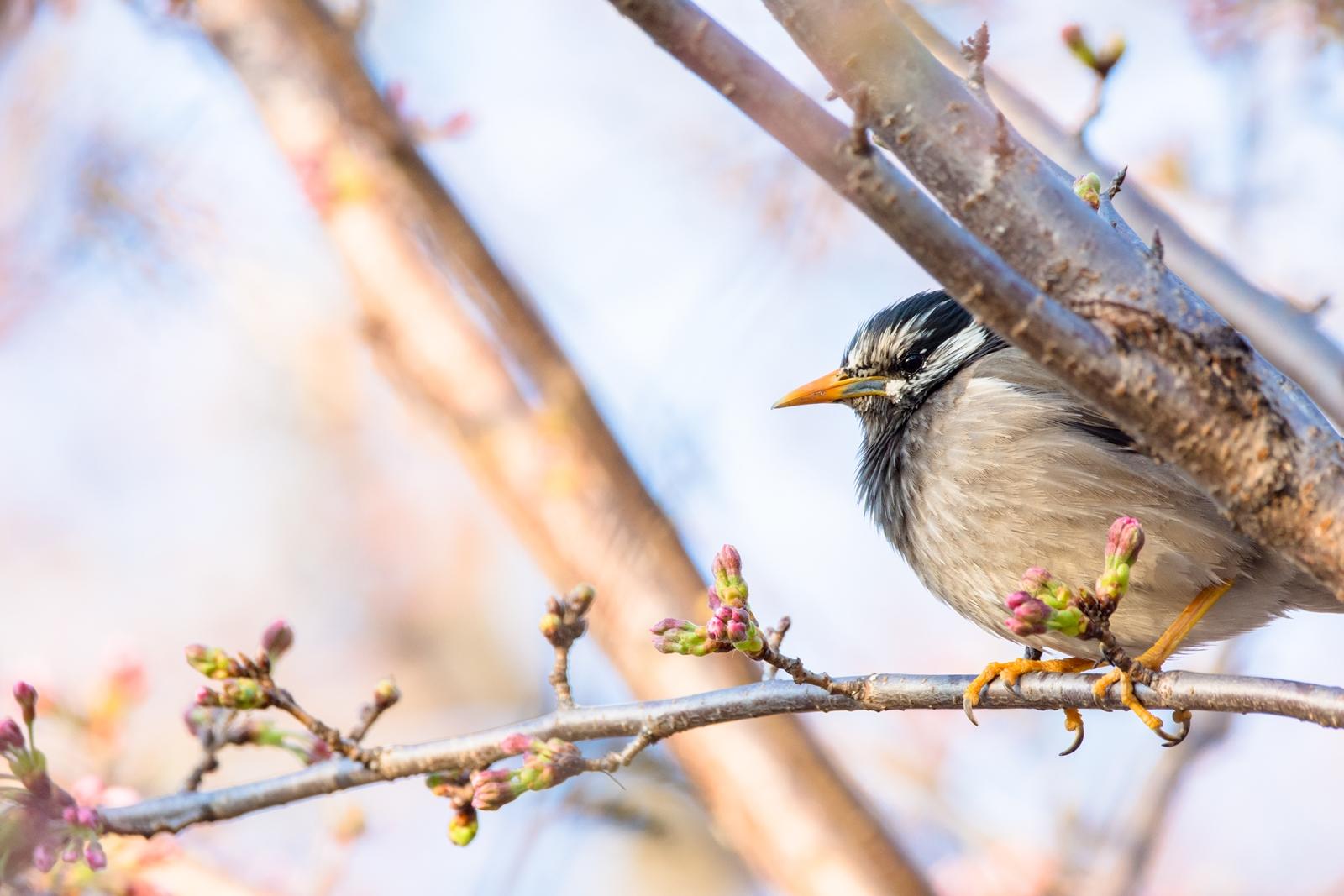 Photo: 「春を見守る」 / Watch over the spring.  そっと見ている 変わっていく春 木々がどんどん賑やかに 慌ただしい季節が やってくるよ  White-cheeked Starling. (ムクドリ)  Nikon D7200 SIGMA 150-600mm F5-6.3 DG OS HSM Contemporary  #birdphotography #birds #kawaii #小鳥 #nikon #sigma #小鳥グラファー  ( http://takafumiooshio.com/archives/2312 )