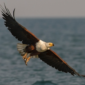 Gotcha! by Robert van Brug - Animals Birds ( oiseau, bird, aves, haliaeetus vocifer, fish, catch, raptor, fishing, africa, vogel, afrikaanse zeearend, zeearend )