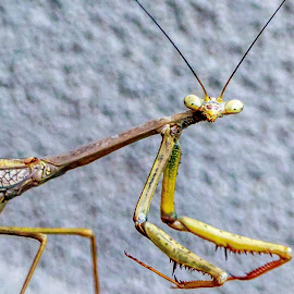 Alien insect encounter by Shayne Sim - Animals Insects & Spiders ( macro photography, insect, close up, praying mantis, close,  )