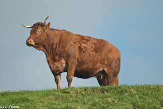 Photo: Brown Cow Lower Healey 30.10.11