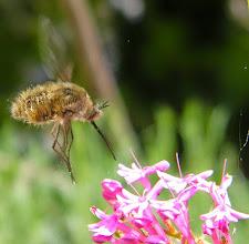 Photo: Un Bombyle cendré en vol stationnaire au dessus d'une centranthe rouge (faux lilas) - battements d'ailes environ 250-300 seconde. Il vole comme les oiseaux colibris et les papillons moro-sphinx...et les hélicoptères !