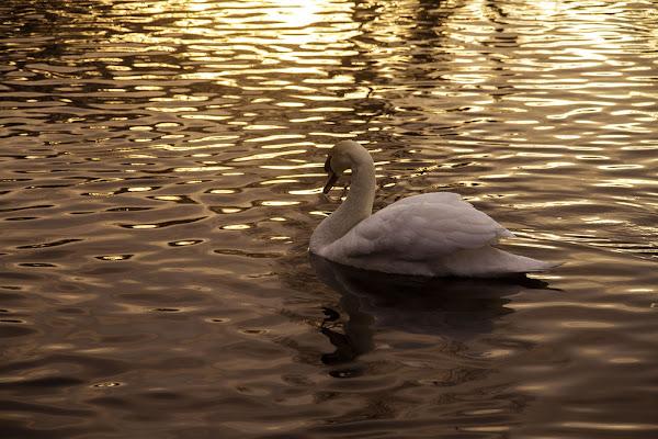 swan reflex di crisspercheno
