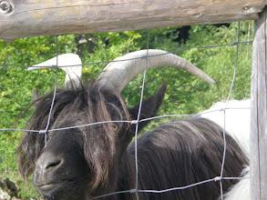 Photo: chèvre valaisanne