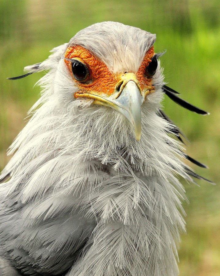 Secretary Bird by Ralph Harvey - Animals Birds ( bird, secretary bird, wildlife, ralph harvey, marwell zoo )