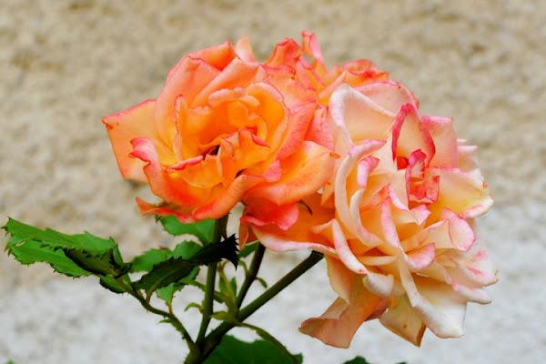 Two colors... di sonia62