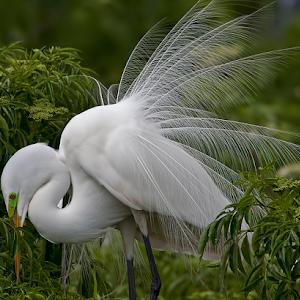 Great White Egret 032.jpg