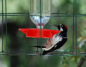 Photo: Adult female Acorn Woodpecker preparing to feed at a hummingbird feeder, Madera Canyon, Arizona