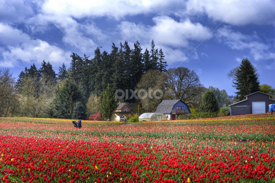 Farming Tulips by Cindy Taverne - Flowers Flower Gardens (  )