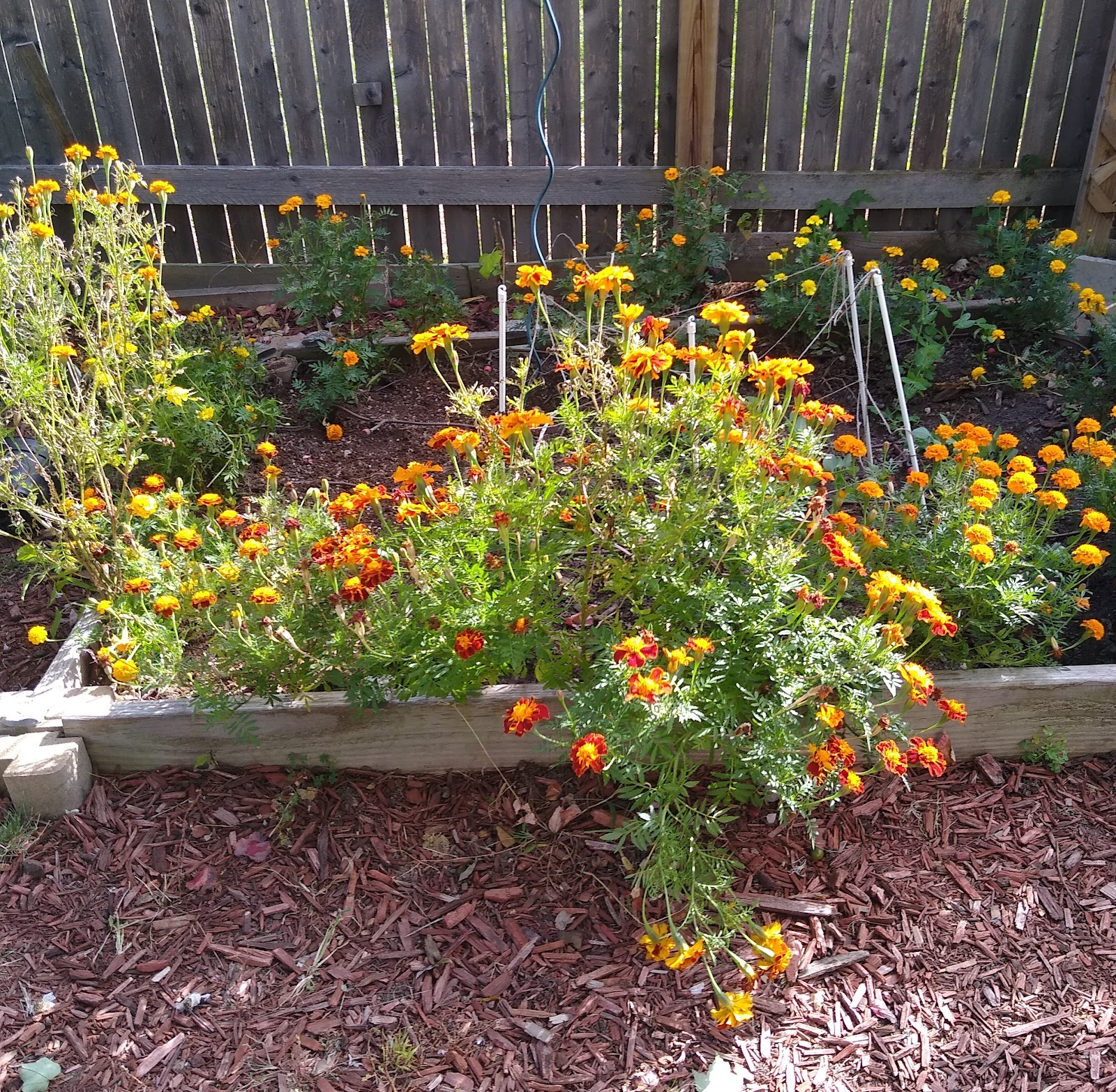 marigolds in a raised bed picture