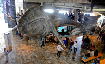 Photo: 25. The aquarium is set up in old cannery buildings, which certainly adds to its charms. There is a large display of cannery operations, showing how important canning sardines and anchovies once was to Monterey's past. ... Here two gray whale models hang from the ceiling - life size.