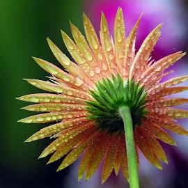 Gerbera  by Asif Bora - Flowers Flowers in the Wild (  )
