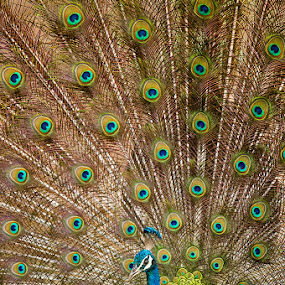 Indian Peafowl Display by Angad Achappa - Animals Birds ( wildlife photography, avian, nikkor, wildlife, birds, d3s, 600mm, birding, bird, nature, peafowl, india, nikon, peacock, bird photography )