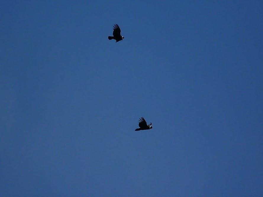 Condor en el Glaciar Perito Moreno