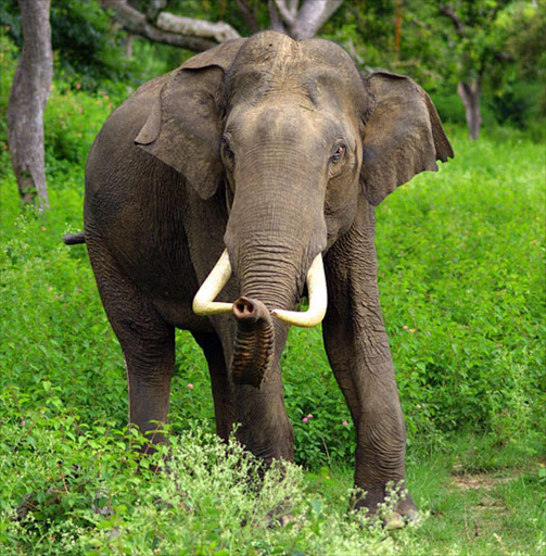 An Asian Elephant. file picture