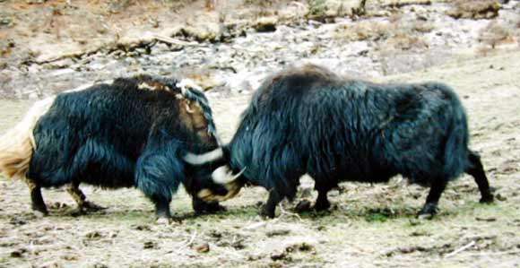 Two male yaks fighting to establish their dominant position in the mating hierarchy of the herd.