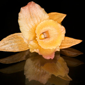 Reflection by Dora Korz - Nature Up Close Flowers - 2011-2013 ( reflection, macro, nature, orchid, on black, close up, flower )