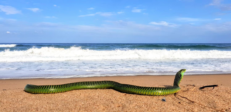 A deadly boomslang was rescued from the Winklespruit beach on the KZN south coast.