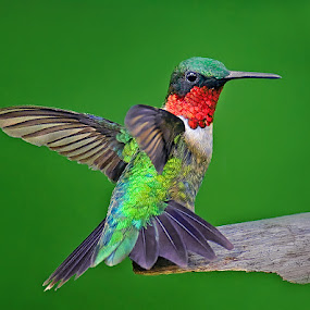 Flying Colors by Don Holland - Animals Birds