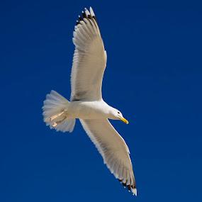 Seagull by Dmitriy Yanushevichus - Animals Birds ( bird, gull, sky, seagull, fly,  )