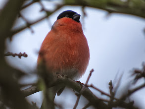 Photo: 17 Jan 14 Priorslee Lake An almost clear view of this fine male Bullfinches – enough twigs for him to feel safe as he sang quietly: note the puffed-out throat. (Ed Wilson)