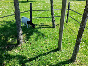 Photo: In Antoinette's day, lambs were taken for walks on silk leashes, cows were pregroomed, walls were fake aged