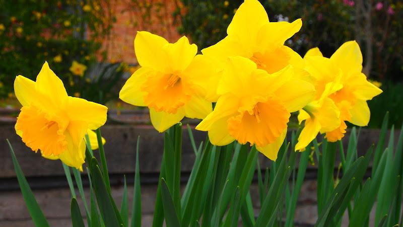 daffodils di Thomasina