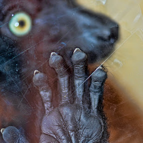 Monkey behind glass by Tristan Wright - Animals Other Mammals ( hand, macro, zoo, nature, glass, mammal, monkey,  )