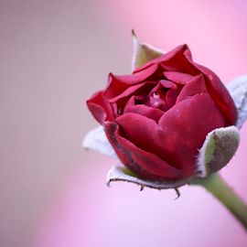 Rose bud by Mahesh Gadekar - Flowers Flower Buds ( mahesh gadekar, rose bud, rose, pixexcelopth, pink to grey background by desert rose )