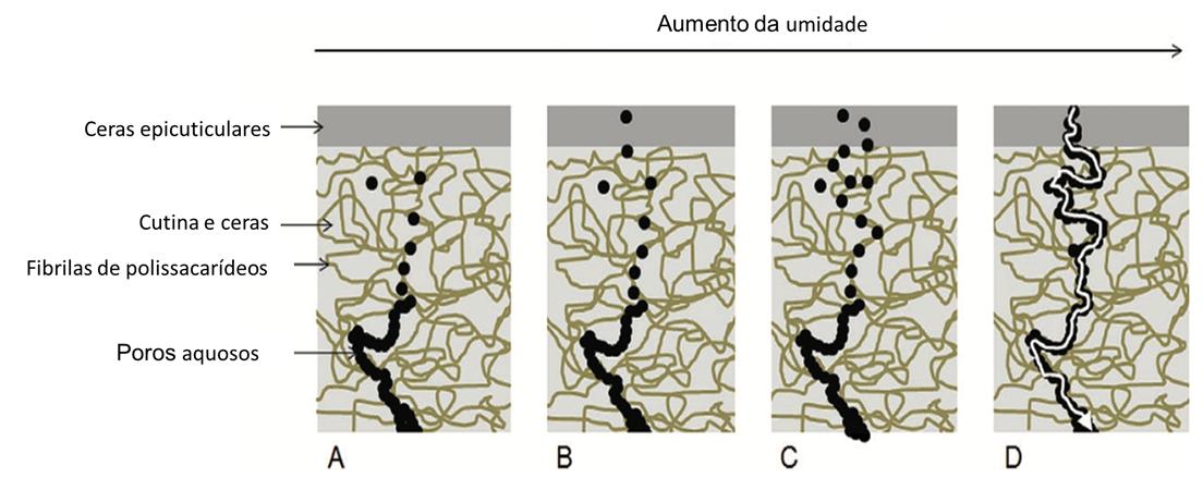 Absorção de Aminoácidos : Modelo de formação de uma conexão aquosa atravessando a cutícula (Fonte: adaptado de FERNÁNDEZ et al., 2017)