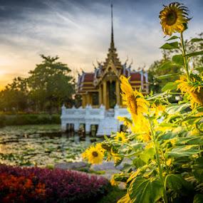 Sunflowers ay Sunset by Toni Laird - Flowers Flowers in the Wild ( bangkok, shrine, sunset, sunflowers, lake, pond )