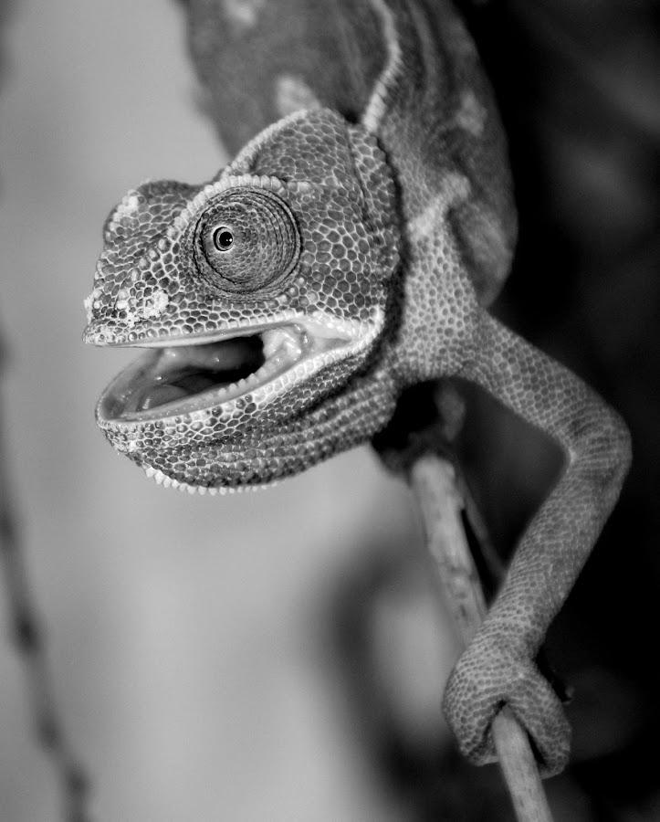 Chameleon by Ralph Harvey - Black & White Animals ( wildlife, ralph harvey, bristol zoo, chameleon, animal )