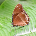 Great Eggfly