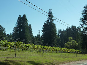 Photo: dans les collines des sapins et des vignes