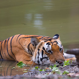 Bengal Tigers by Graham Tweed - Uncategorized All Uncategorized ( #tigers #nikon #india #wildlife #bengal tigers )