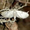 Unknown Eupithecia