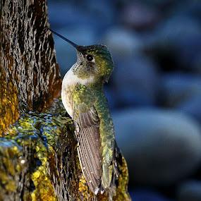 Hummingbird cooling at the fountain by April Nowling - Animals Birds ( bird, nature, hummingbird, santa fe - nm, wildlife,  )