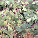Erect prickly pear