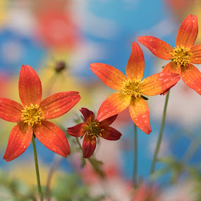 Flowers by Atanas Donev - Flowers Flowers in the Wild ( orange, colors, yellow, flowers,  )