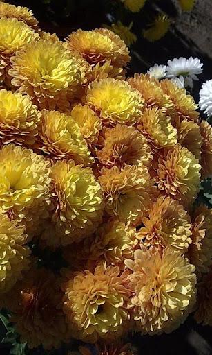 Chrysanthemum Wallpapers