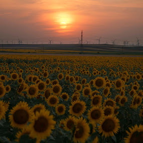 SUNSET by Adrian Penes - Landscapes Prairies, Meadows & Fields ( field, red, yelow, sunflower )