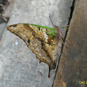 Green veined Charaxes