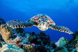 Photo: Hawksbill Turtle, Rangiroa
