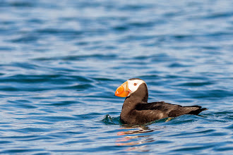 Photo: Black Puffin floating