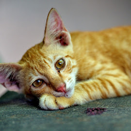 Resting  by Aung Kyaw Soe - Animals - Cats Portraits (  )