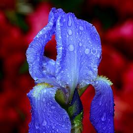 Iris n00121 by Gérard CHATENET - Flowers Single Flower