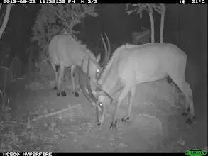 Photo: The two old breeding females As duas velhas fêmeas reprodutoras