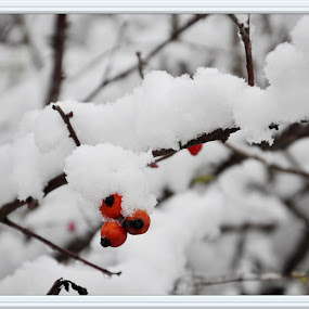 Winter beauty by Stoyan Baev - Nature Up Close Other plants ( winter, cold, tree, beautiful, snow, white, branch,  )