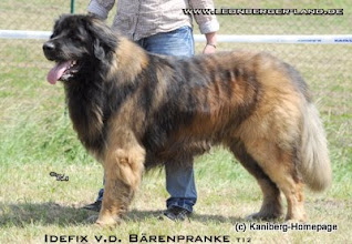 Photo: Papa Idefix von der Bärenpranke - HD A1 - LPN1 frei N/N