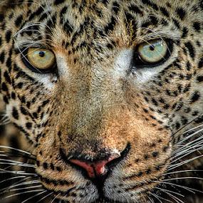 Leopard, Okavango by Dana Allen - Animals Lions, Tigers & Big Cats ( okavango delta, botswana, dana allen, leopard )